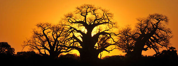 Baobab Tree in Kruger National Park at Sunset
